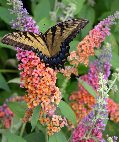 what colors attract butterflies attract butterflies and hummingbirds to your garden by