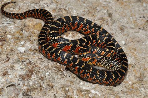 king snake colors king snake lropeltis getula brooksi