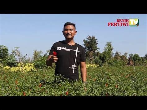 Agribisnis Cabai Hibrida benih pertiwi tv cabai rawit hibrida robin lebatnya