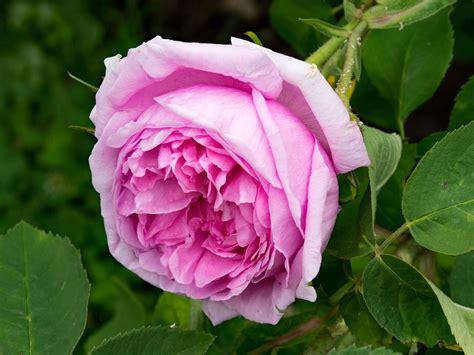 100 gambar tato 3d bunga mawar rose di lengan dada gambar bunga mawar serta jenis jenisnya digiyan com