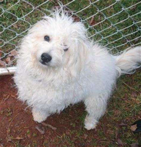 pomeranian bichon poodle mix 1000 images about lovely mongrels on shetland sheepdog german shepherd