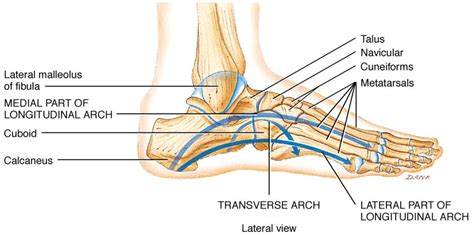 Medical Journey of a Sufferer of Sacroiliac Instability ... Foot Arch Muscles