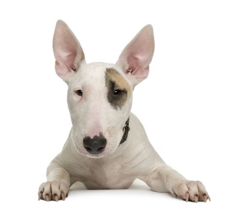 puppy bull terrier bull terrier