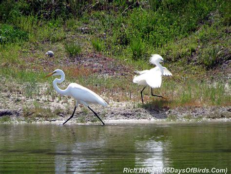 Birds Of The World 365 Days day 075 egrets 365 days of birds