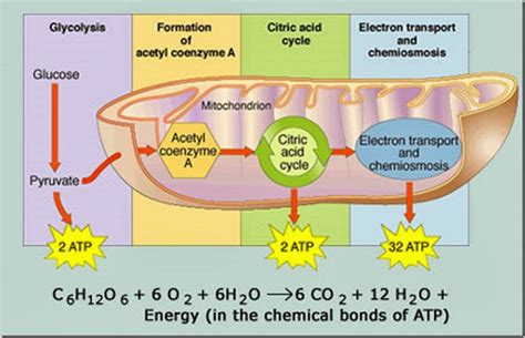 aerobic cellular respiration diagram project 4 4 1 the s response to exercise
