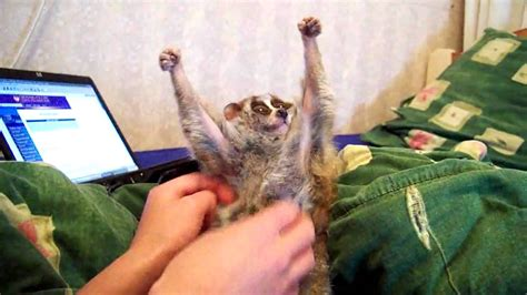 slow loris tickle sonya the tickle lover youtube