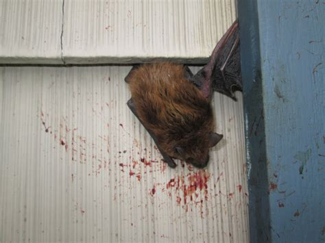 new jersey bat removal service bats in house