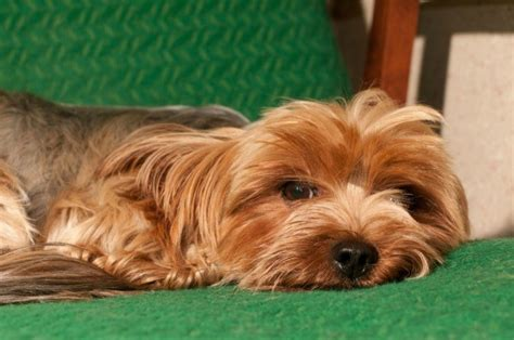 yorkie puppy information and facts terrier breed information and photos thriftyfun