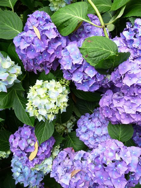 hydrangea top 10 tips on how to plant grow care