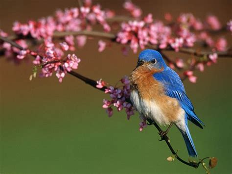 bluebird animal wildlife
