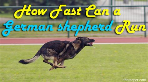 how fast do dogs run top speeds how fast can a german shepherd run ihome pets