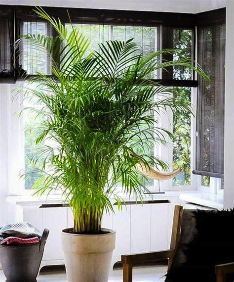 areca palm trees  sale   tree center