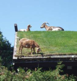 Goats On Roof Door County by The Secret Of Planning A Vacation At