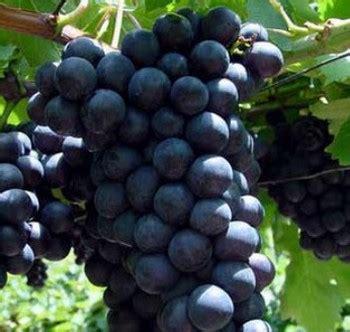 tipi di uva da tavola moscato d amburgo e alphonse lavallee uve da tavola nere