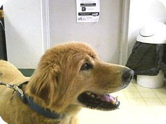 golden retriever jacksonville fl wolfe adopted jacksonville fl golden retriever