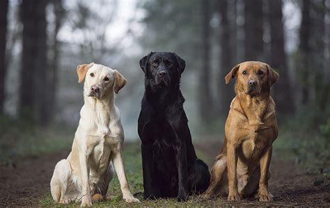 labrador colors best labrador colour does coat make a difference the field