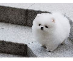 pomeranian puppies for sale in idaho falls adorable outstanding puppies animals cambridge idaho announcement 28011