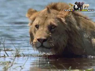 kurtlar belgesel izle hayvanlar alemi aslan belgeseli izle 2015 hayvanlar alemi amansiz d 220 şmanlar aslanlar