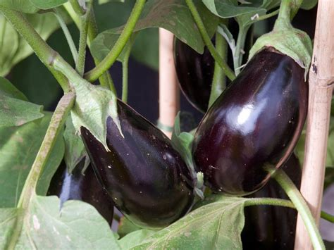 Gardening Eggplant How To Cook Eggplant Hgtv