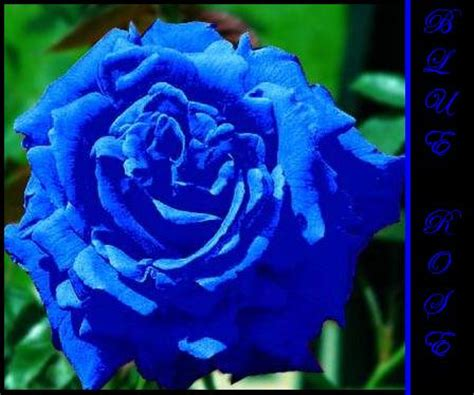 what does a blue rose tattoo symbolize pictures gallery blue roses blue roses wiki the