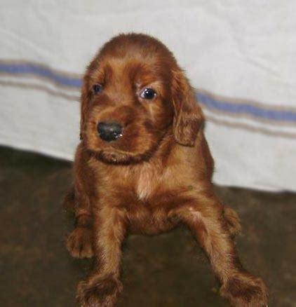 irish setter dog for sale in india litter box irish setter sabarish