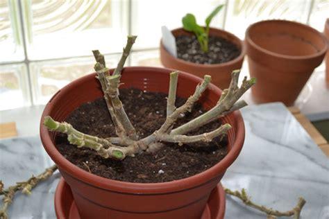 hortus 5 journal geraniums follow up