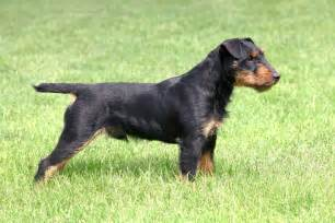 An average jagdterrier weighs between 16 and 22 lbs and requires a