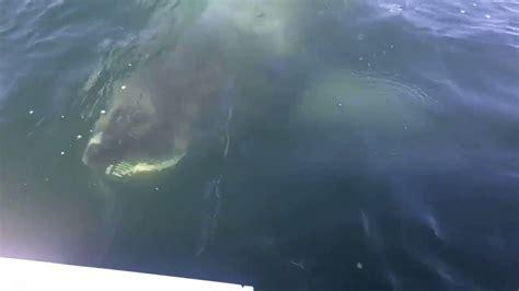huge boat huge shark lurks just below surface near fishermen s boat