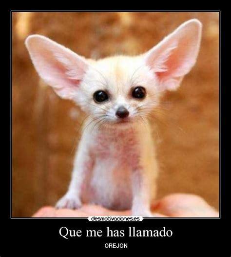 imagenes de orejones chistosos animales orejones imagui