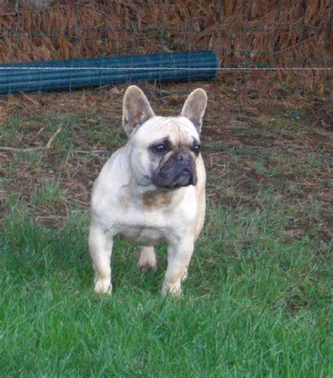 Rocky Tunik chien elevage des domaines du tryskell eleveur de chiens bouledogue fran 231 ais