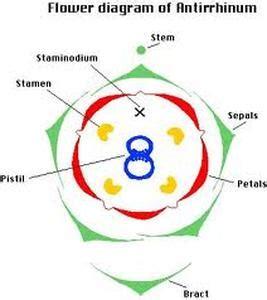 floral diagram of hibiscus floral diagram symbols