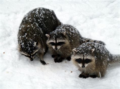 what to do if a raccoon is in your backyard raccoon removal in the winter abc humane wildlife