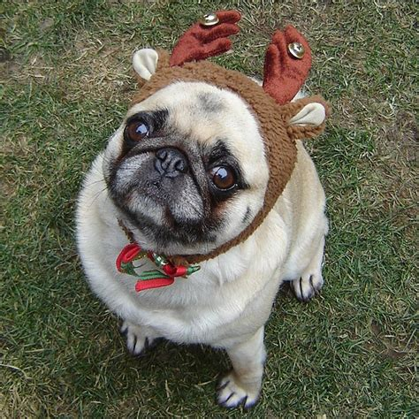 pug reindeer costume pug photos of pugs images pug compact reindeer wallpaper and background photos