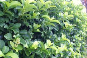large shrubs hedge plants michael a gilkey inc