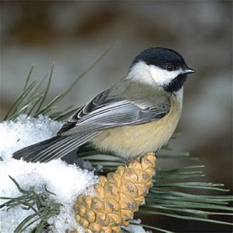 maine state bird chickadee pictures state birds