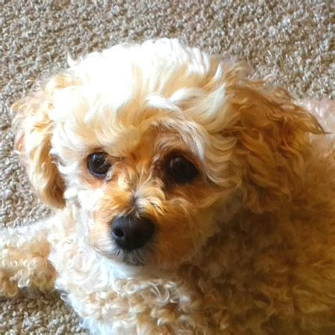 morkie or yorkie poo 1000 images about morkie poo on spaniels to find out and puppys