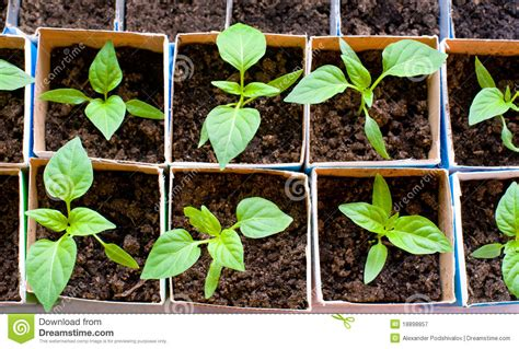 Sweet Tomatoes Gift Card - bell pepper seedlings royalty free stock photography image 18898857