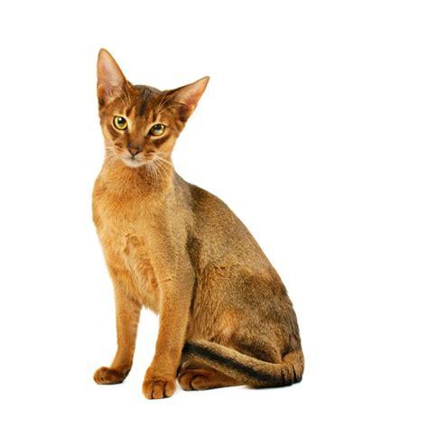 Top 10 Populairste Kattenrassen - Alletop10lijstjes