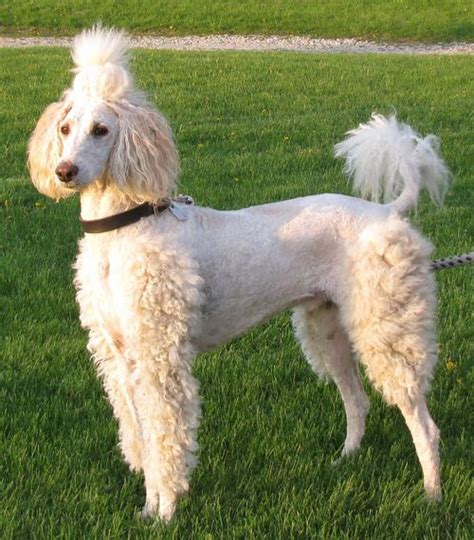 pictures of poodle haircuts poodle haircut tumblr