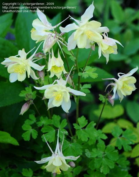 Columbine Origami - plantfiles pictures columbine origami yellow aquilegia
