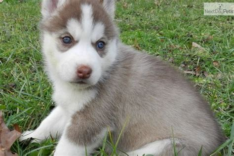 free husky puppies near me siberian huskies for sale near me boxer health facts