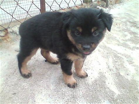rottweiler with hair rottweiler mix owner s pet 1 year 5 months rawang s pet from