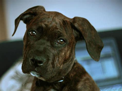 corso brindle puppy brindle corso puppy animal lover