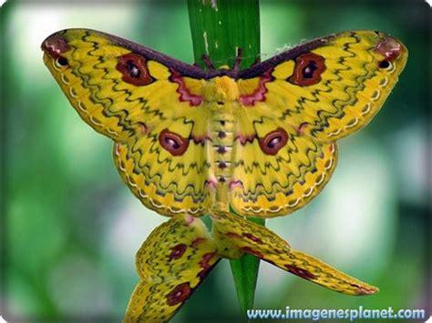 imagenes mariposas raras mariposas de colores raras buscar con google vuela