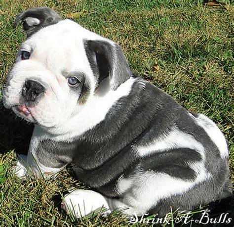 miniature blue bulldog puppies for sale miniature bulldogs and bulldogs available for sale