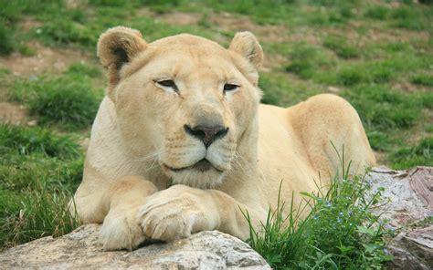 fonditos leona   animales leones mascotas felinos