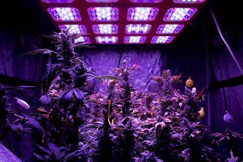 black light for growing weed the new world of marijuana in the nation s capital still