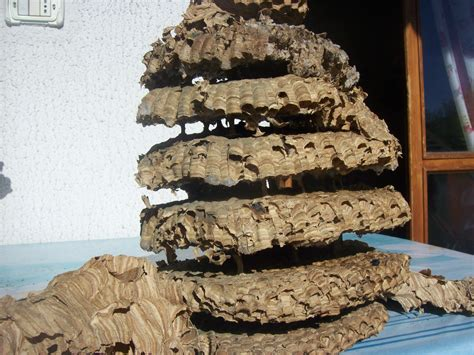 calabroni nel camino trova un gigantesco nido di calabroni nel camino di casa