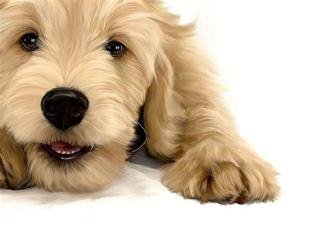 golden retriever breeders sacramento almond blossom doodles goldendoodles puppies of san francisco area