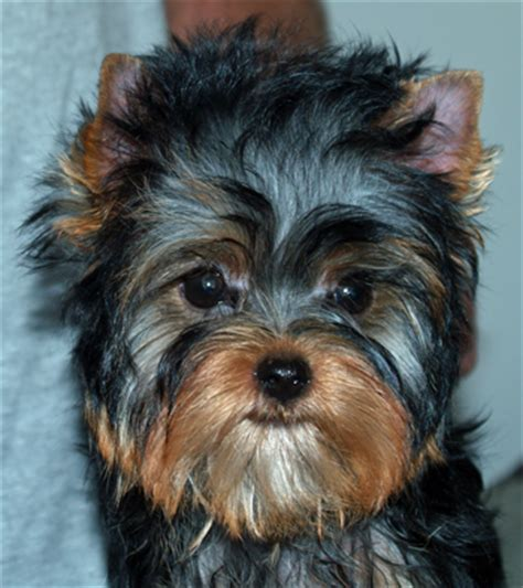 hypoglycemia in yorkie puppies terrier puppy articles on health and